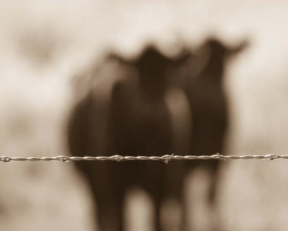West Texas Highway Cattle