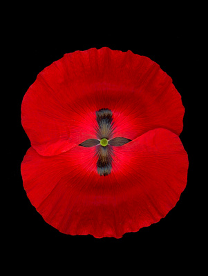 Patrick Larson Photography: Flowers &emdash; Red Poppy